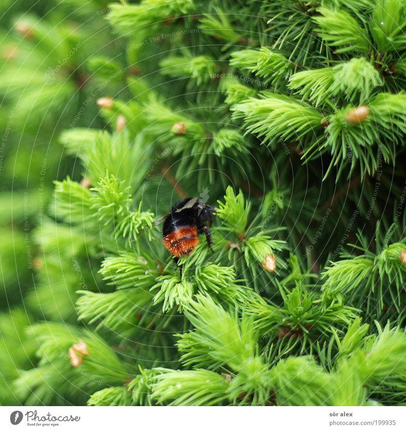 backside Natur Frühling Baum Tanne Tannennadel Tannenzweig Insekt Hummel 1 Tier krabbeln braun grün schwarz Zufriedenheit Frühlingsgefühle fleißig diszipliniert