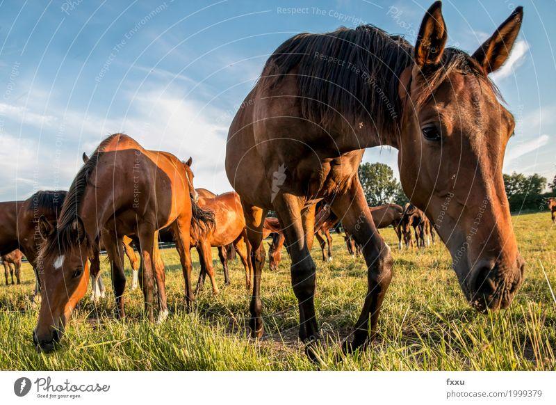 Pferdeherde braun Wildtier Wiese Tier Natur Weide Fohlen Fressen Nahaufnahme Froschperspektive Mähne Himmel Sommer grün Brauner Gras wild