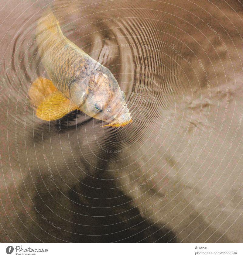 Ich bin mal kurz frische Luft schnappen Fischzucht Wasser Teich Fischteich Tier Schuppen Karpfen 1 Kreis Wellen konzentrisch atmen Bewegung Schwimmen & Baden