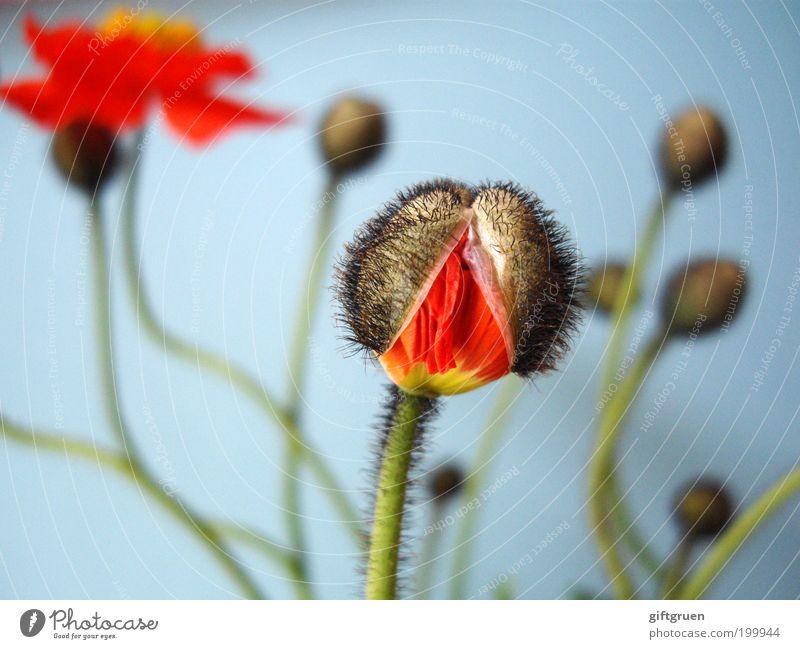 sollbruchstelle Natur Blume blau Pflanze rot Leben Wiese Blüte Frühling Garten Kraft frisch Wachstum Wandel & Veränderung Stengel Blühend
