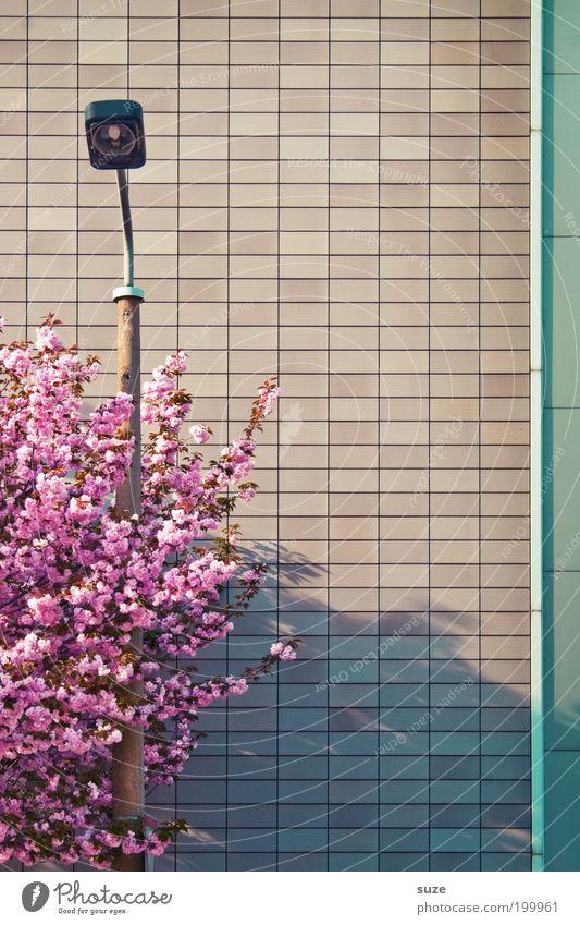 Umarmung schön Umwelt Natur Pflanze Frühling Baum Sträucher Blüte Fassade Blühend Wachstum ästhetisch Freundlichkeit rosa Frühlingsgefühle Vorfreude Ordnung Ast