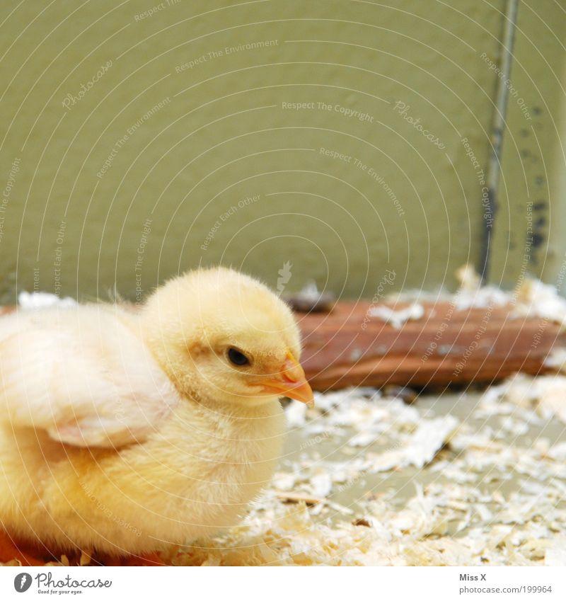 Piep Piep Piep . . . schön Tier gelb klein Tierjunges Stimmung Vogel Flügel Feder weich Schutz Zoo Schnabel Geborgenheit Schwäche Bildausschnitt