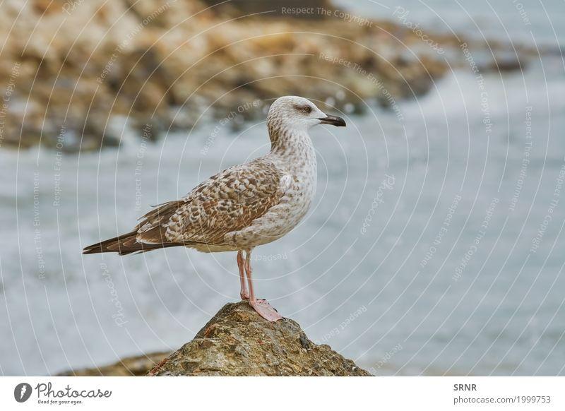 Seemöwe, die auf Stein stillsteht Tier Vogel 1 stehen wild Schnabel Geldscheine aussruhen jung Vogelbeobachtung Jungvogel schmiegend Pullus aquatisch Vogelwelt