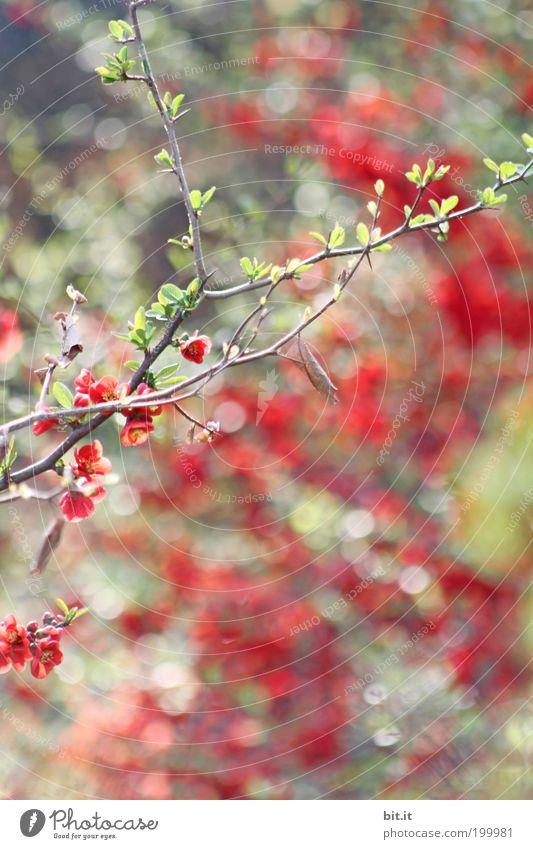 Lichtbündel [LUsertreffen 04|10] Pflanze schön grün rot Blüte natürlich glänzend träumen leuchten Sträucher Kreis Romantik Punkt Kitsch Zweig exotisch