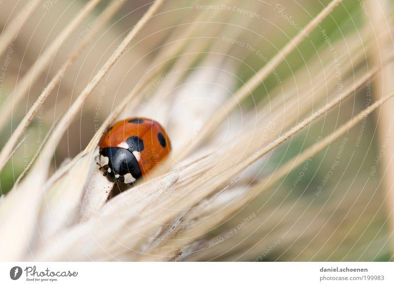 """aus der Serie """"wilde Tiere"""" Natur Sommer Gras Nutztier Käfer 1 rot Glück Marienkäfer Tierporträt Glücksbringer Punkt"""
