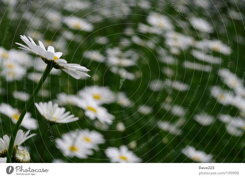 Silhouette einer Schönheit Umwelt Natur Pflanze Frühling Gras Blüte Grünpflanze Wildpflanze Margerite Wiese authentisch elegant natürlich schön gelb grün weiß