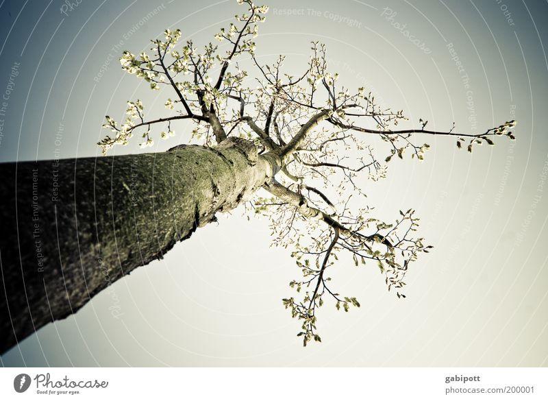 öfter in den Himmel schauen Natur Baum Pflanze Umwelt Landschaft Frühling Luft hoch groß Wachstum Unendlichkeit Lebensfreude Zukunftsangst Klimawandel Umweltverschmutzung achtsam