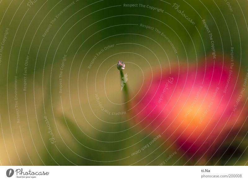 einsamer Wassertropfen Umwelt Natur Landschaft Frühling Pflanze Blume Gras Blüte Garten Blühend glänzend hängen leuchten Wachstum Flüssigkeit nass grün rosa