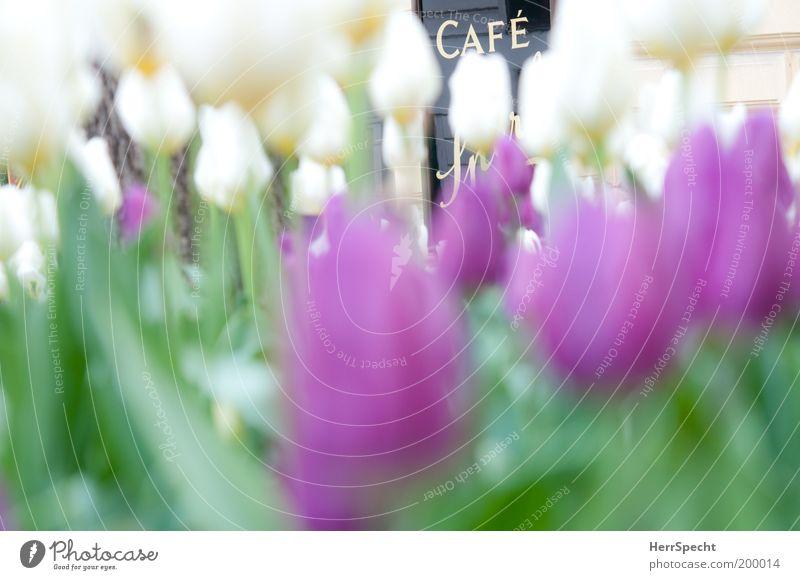 Tulpen Café Tulpen weiß grün Pflanze Schilder & Markierungen violett Blume Symbole & Metaphern Straßencafé Blumenbeet