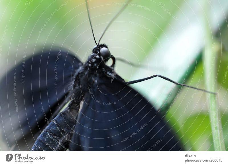 flatterhaft [LUsertreffen 04 10] Natur grün Pflanze Tier schwarz Leben Bewegung klein Wildtier natürlich Flügel Insekt Schmetterling Urwald leicht exotisch