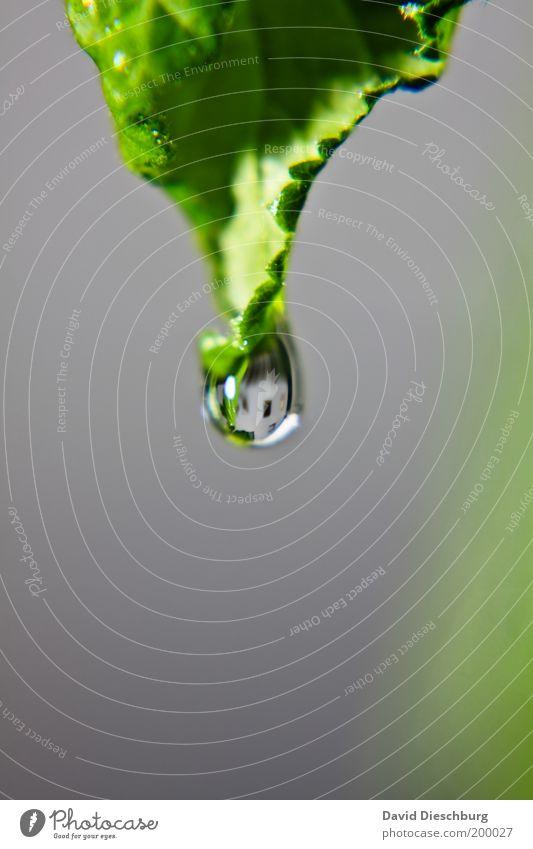 Hausfasade im Tropfen Leben ruhig Natur Pflanze Wassertropfen Frühling Sommer Blatt Grünpflanze grau grün glänzend rund Farbfoto Nahaufnahme Detailaufnahme