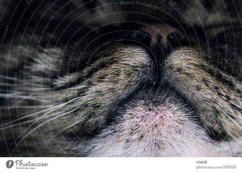 kiwimäulchen Tier Haustier Katze Tiergesicht 1 liegen schlafen träumen kuschlig natürlich weich grau schwarz weiß Zufriedenheit Coolness Warmherzigkeit