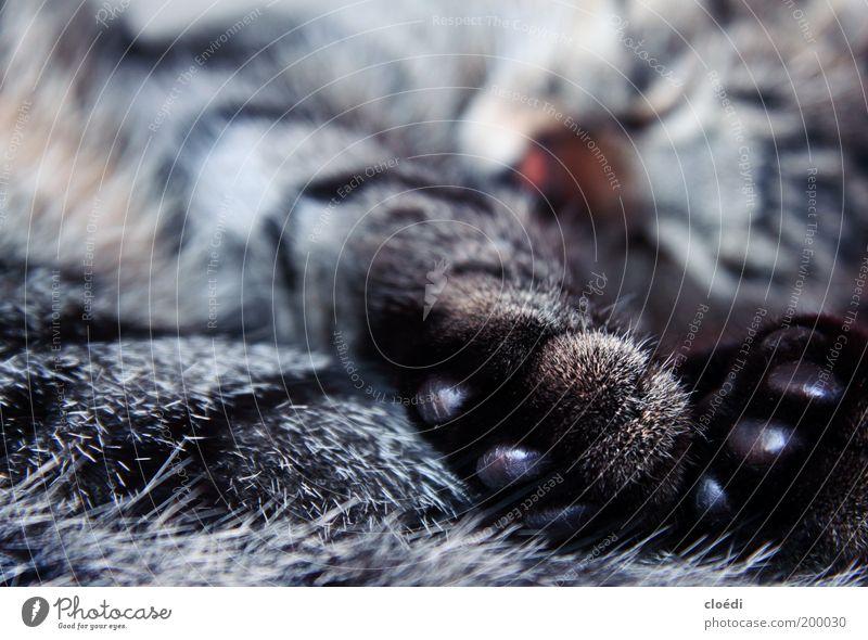 kiwipfoten weiß schwarz Tier grau träumen Katze Wärme Zufriedenheit braun glänzend schlafen weich Tiergesicht liegen Fell Warmherzigkeit
