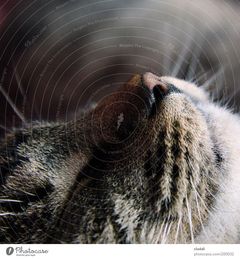 kiwi schön ruhig schwarz Tier grau träumen Katze Nase schlafen weich liegen Fell Warmherzigkeit Haustier kuschlig bequem