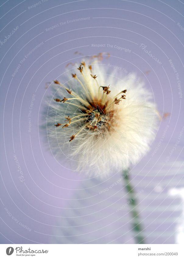 Bitte pusten! Pflanze violett weiß Löwenzahn weich Vase Dekoration & Verzierung blasen schön Samen Samenpflanze Farbfoto Innenaufnahme Unschärfe