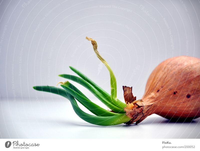 aus alt, mach neu! Lebensmittel Gemüse Ernährung Bioprodukte Vegetarische Ernährung Pflanze Nutzpflanze Wachstum braun grau grün weiß Zwiebel Zwiebelkeimling