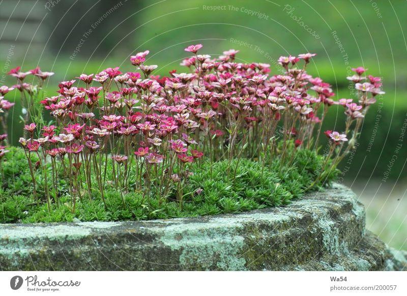Frühling Natur Blume grün Pflanze ruhig Leben Blüte grau Stein Park Zufriedenheit Stimmung rosa frisch ästhetisch