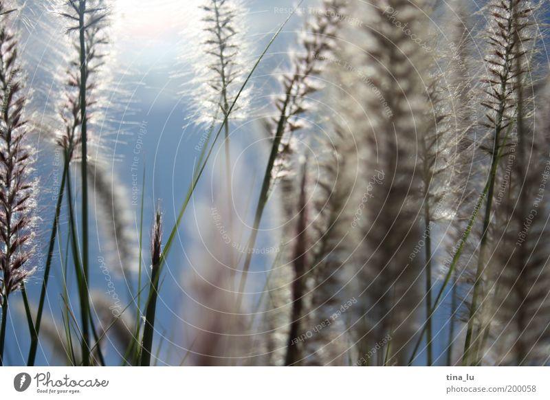der sonne entgegen II Natur schön Sonne Sommer Gras Frühling Wachstum Sträucher Halm Schönes Wetter Samen Naturwuchs Samenpflanze