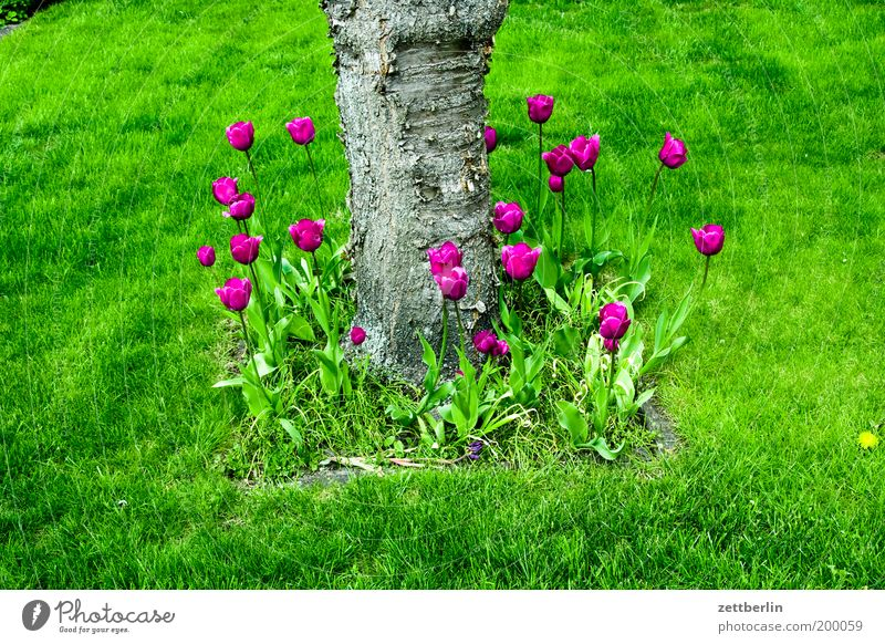 Tulpen Baum Blume grün Pflanze Erholung Wiese Gras Garten Rasen Dekoration & Verzierung Schmuck Baumstamm Gartenarbeit Gärtner Apfelbaum