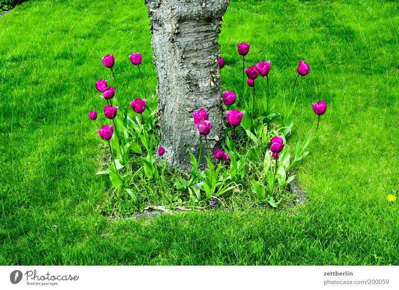 Tulpen Baum Blume grün Pflanze Erholung Wiese Gras Garten Rasen Dekoration & Verzierung Schmuck Baumstamm Tulpe Gartenarbeit Gärtner Apfelbaum