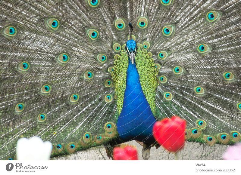 da staunst du Tier Tulpe Wildtier Vogel Zoo 1 Brunft drehen leuchten außergewöhnlich fantastisch schön blau grau grün rot weiß Sehnsucht Stolz eitel elegant