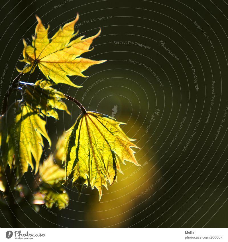 Leuchtfeuer Natur grün Pflanze Blatt Umwelt gold Wachstum natürlich Warmherzigkeit leuchten Blattadern Ahorn Ahornblatt Naturwuchs