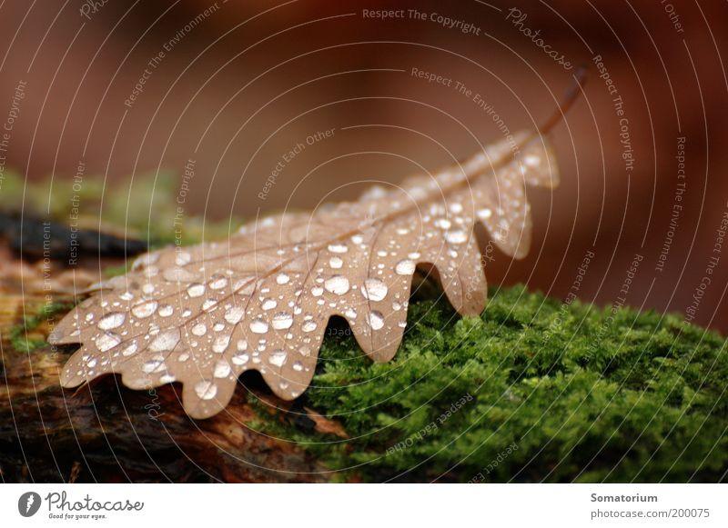 Eichenblatt Pflanze Wassertropfen Herbst Moos Blatt braun grün Farbfoto Makroaufnahme Menschenleer Schwache Tiefenschärfe Tau feucht nass Tropfen Tag