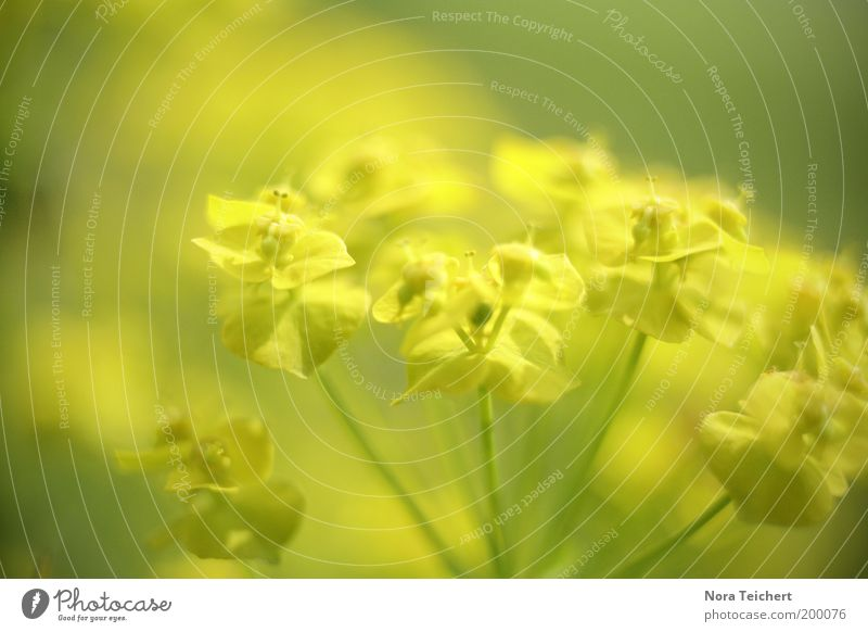gelb gelb gelb Umwelt Natur Pflanze Frühling Sommer Blume Blüte Grünpflanze Wildpflanze Blühend Wachstum frisch hell schön grün Farbfoto Außenaufnahme