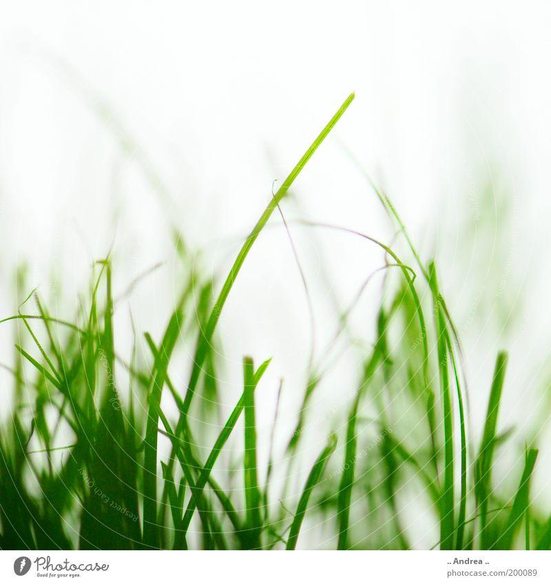 Grasgeflüster Natur grün schön Pflanze Umwelt Wiese Garten Park Gesundheit gehen Feld rein Sportrasen Halm Fußballplatz