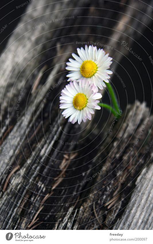 ::: Zweisamkeit ::: gelb Holz Glück Frühling Zusammensein Romantik Blume Zusammenhalt Gänseblümchen Zwilling Frühlingsgefühle zusammengehörig Unikat zusammenwachsen Naturwuchs