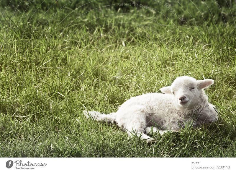 Schweigendes Lamm Natur grün weiß Tier Tierjunges Wiese Gras klein liegen träumen authentisch niedlich tierisch Tiergesicht Schaf Wolle