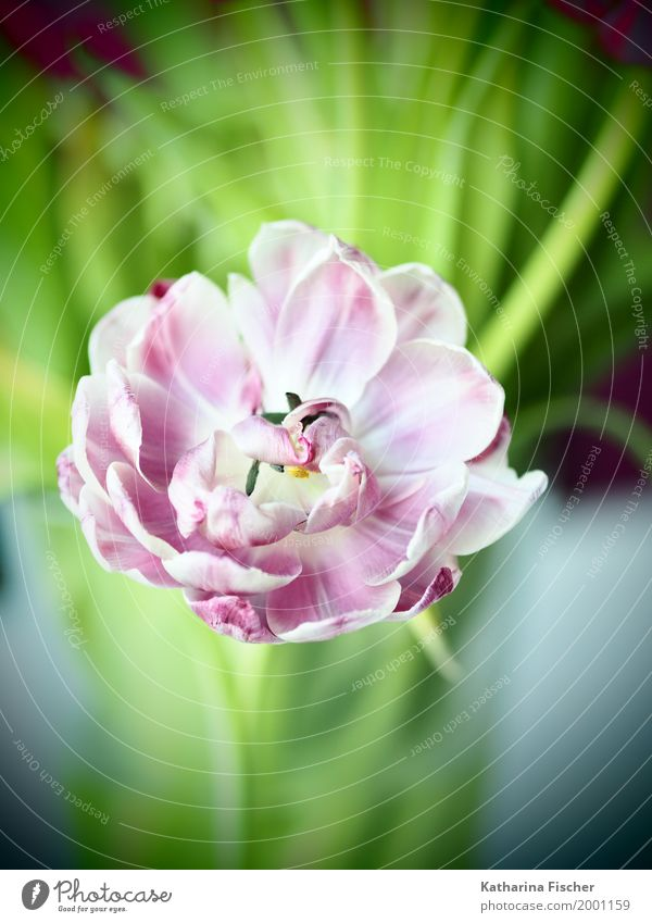 Frühlingsgruss IV Natur Pflanze schön grün weiß rot rosa ästhetisch Blühend Tulpe