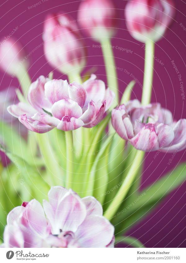 Frühlingsgruss V Natur Pflanze Tulpe ästhetisch exotisch schön grün violett rosa weiß Blühend welk Dekoration & Verzierung Freudenspender Blumenstrauß Farbfoto