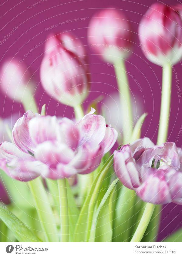 Frühlingsgruss VI Natur Pflanze Tulpe Blüte ästhetisch schön grün violett rosa weiß Blume Blumenstrauß Blühend welk Freudenspender Frühlingsbote