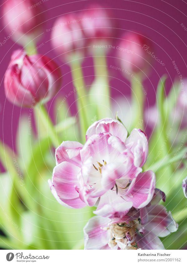 Frühlingsgruss VII Natur Pflanze Sommer Blume Tulpe Blatt Blüte schön gelb grün rosa weiß Licht Freudenspender Wachstum welk Blühend Dekoration & Verzierung