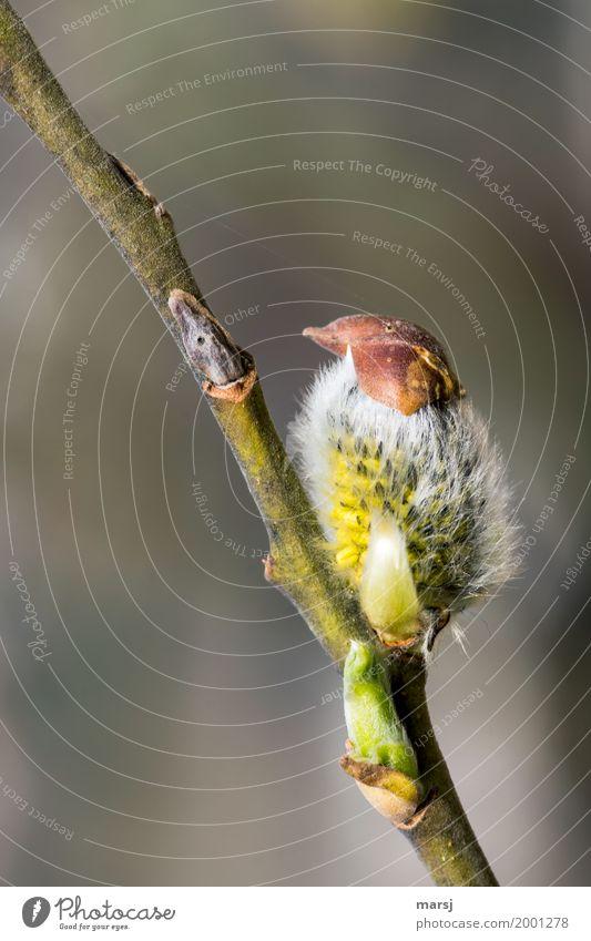 süß l dieser ganz seltene Vogel Natur Frühling Weidenkätzchen Pflanzenteile Ast außergewöhnlich authentisch Erfolg lustig Frühlingsgefühle Samen haarig niedlich