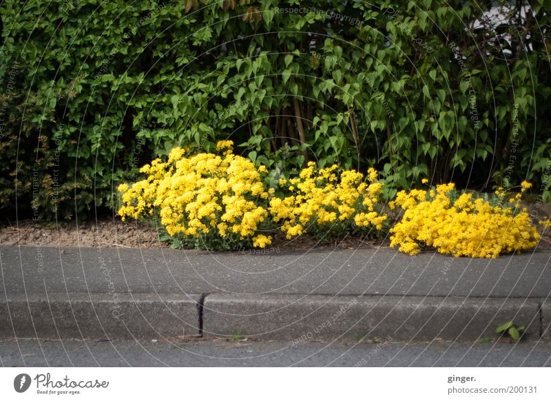 Neulich, am Wegesrand... Umwelt Natur Pflanze Frühling gelb grün Wegrand Bürgersteig Bodendecker Hecke Asphalt Bordsteinkante Blühend grell