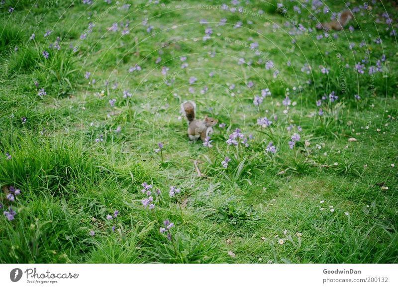 Hyde Park Squirrel Natur Blume Tier Wiese Gras Frühling warten klein beobachten Neugier Blühend entdecken niedlich Textfreiraum Eichhörnchen Tierjunges