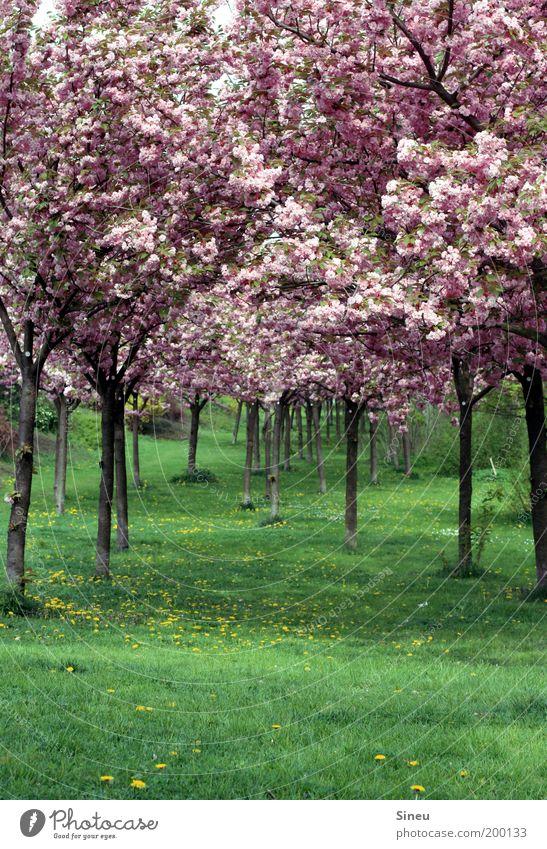 Kirschblütenalle mit Löwenzahn Pflanze Frühling Baum Gras japanische Kirschblüte Park Blühend Duft Wachstum frisch schön natürlich grün rosa ruhig Erholung