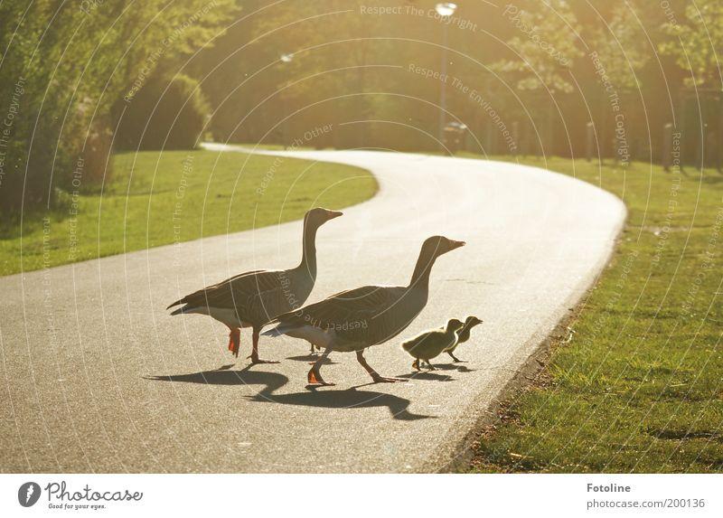 Für alle Väter und Mütter! ;-) Umwelt Natur Landschaft Pflanze Tier Frühling Klima Wetter Wärme Gras Park Wildtier Vogel Flügel Tierjunges Tierfamilie hell