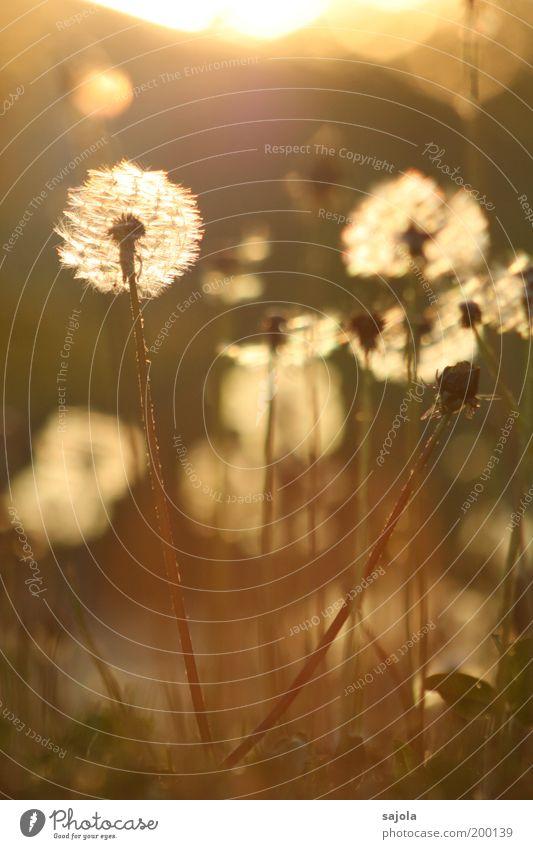 pusteblumen bereit zum abflug Umwelt Natur Pflanze Blume Gras Blüte Löwenzahn Löwenzahnfeld Wiese Blühend leuchten stehen verblüht ästhetisch Verfall