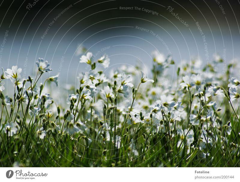 Wild Flower Festival Natur weiß Blume grün Pflanze Wiese Blüte Gras Frühling Garten Park Wärme Landschaft hell Wetter Umwelt