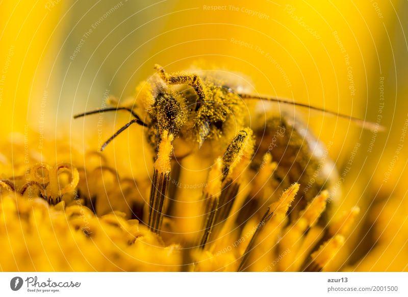 Honey bee covered with yellow pollen and legs in air Natur Pflanze Sommer schön Tier Umwelt Leben gelb Blüte Herbst Frühling Wiese Glück Garten orange Wetter