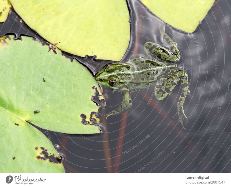 Frosch schwimmt neben Seerosenblatt im Teich tauchen Natur Tier Wasser Blatt Schwimmen & Baden grün Laubfrosch Lurch Fliege Amphibie Außenaufnahme Tag