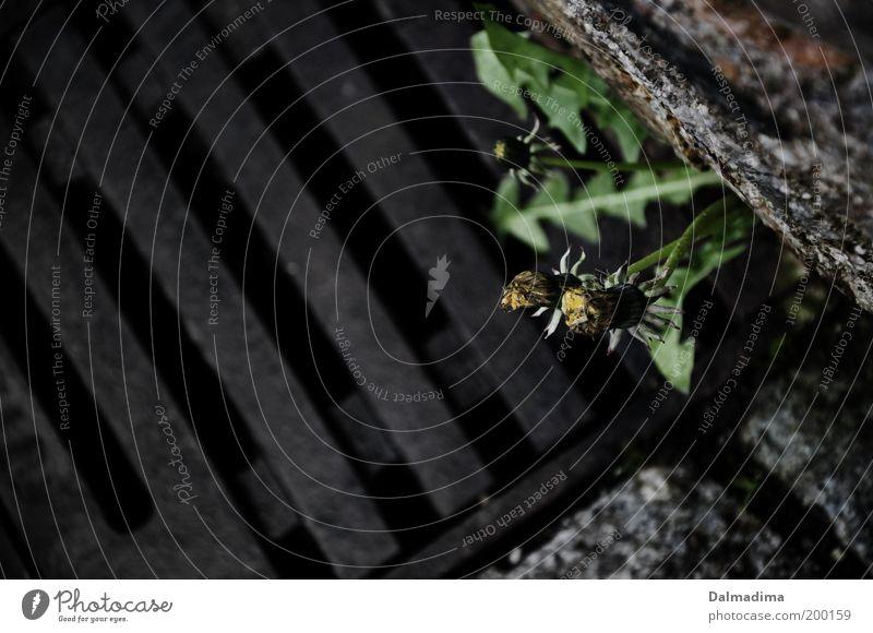 Löwenzahn Natur Pflanze Blume Stein Optimismus Mut schön authentisch Leben entdecken Freiheit Perspektive rebellieren Gully Durchbruch Farbfoto Gedeckte Farben