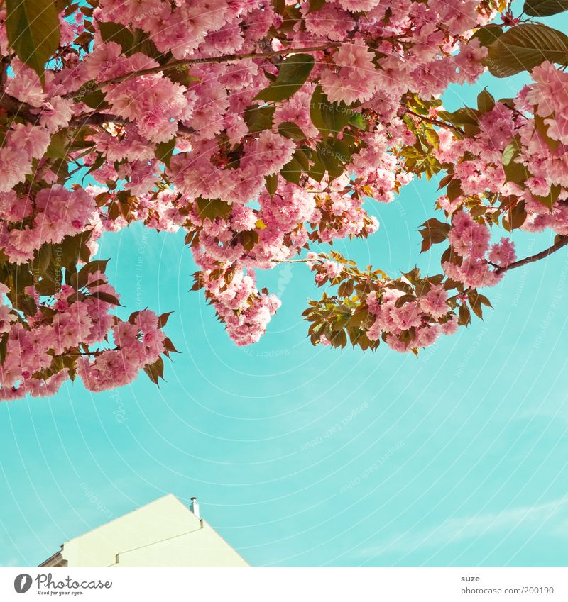Poesie Natur schön Himmel Baum Pflanze Sommer Haus Blüte Frühling Park rosa Umwelt Fassade ästhetisch Wachstum Sträucher