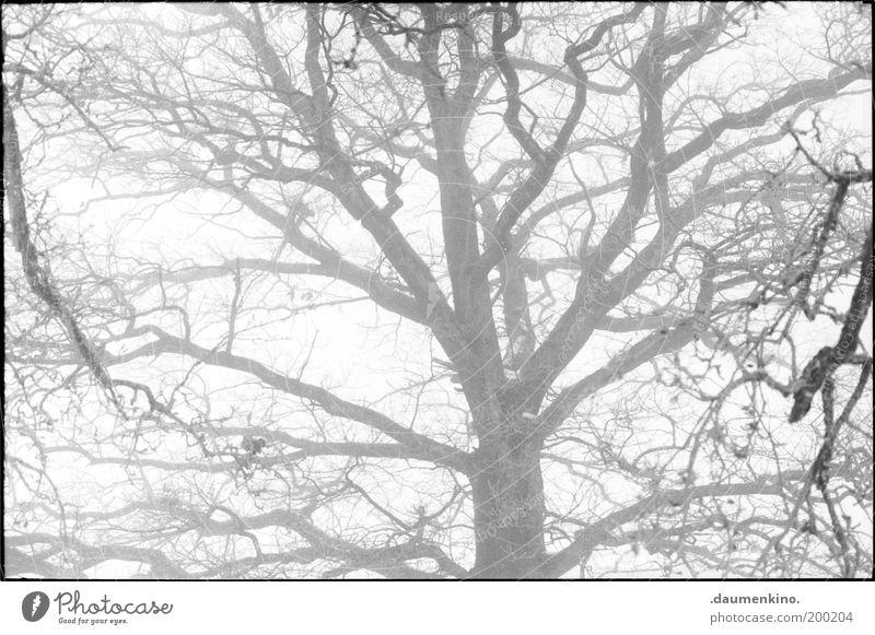 branches d'arbre Baum Ast Zweig zweigung Natur Baumrinde Leben Respekt Macht einzigartig selbstbewußt stark Kraft gewachsen Strukturen & Formen Nebel Geäst