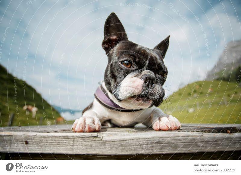 Boston Terrier Natur Hund Ferien & Urlaub & Reisen Sommer Landschaft Erholung Tier Freude Berge u. Gebirge Umwelt Wiese Feld liegen Europa Fröhlichkeit