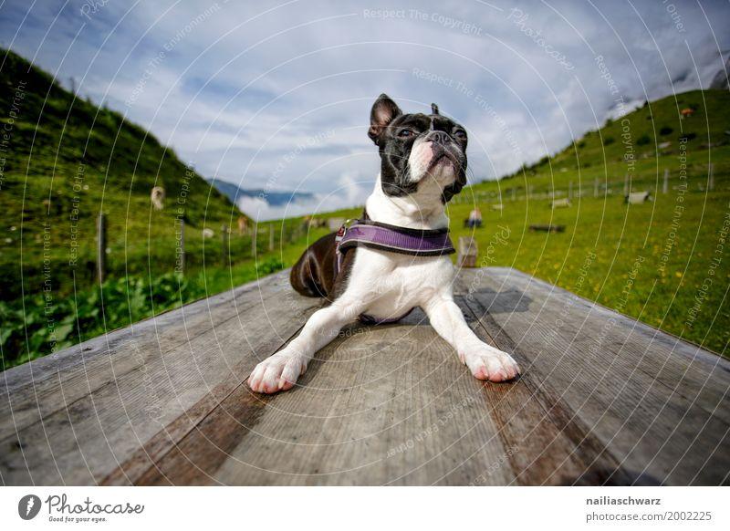 Boston Terrier beim Training Himmel Natur Ferien & Urlaub & Reisen Hund Sommer Landschaft Erholung Tier Berge u. Gebirge Wiese Gras Spielen Feld liegen Europa