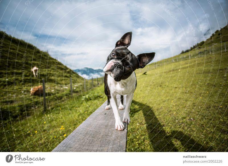 Boston Terrier auf dem Hundeplatz Hund Ferien & Urlaub & Reisen Sommer Landschaft Tier Berge u. Gebirge Umwelt Frühling Wiese Gras Feld Kommunizieren Europa lernen beobachten niedlich